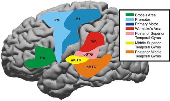 Bereiche der Großhirnrinde, die bei sprachlichen Prozessen beteiligt sind.